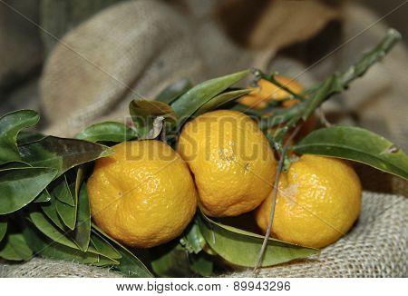 Fruit Of Chinotto