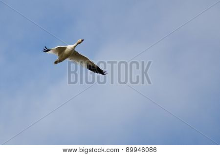 Lone Snow Goose Flying In A Cloudy Sky