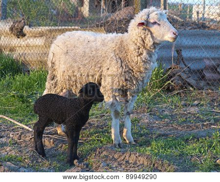 White Sheep And Black Lamb In The Courtyard Of Farm