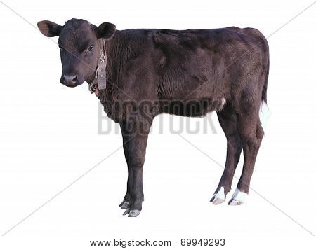 Beautiful Black Little Pretty Calf Isolated Over White