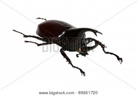 Rhinoceros beetle, Rhino beetle, Hercules beetle, Unicorn beetle, Horn beetle isolated on the white background