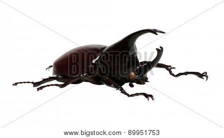 Rhinoceros beetle, Rhino beetle, Hercules beetle, Unicorn beetle, Horn beetle.