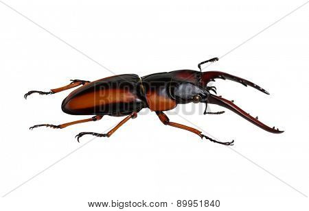 Stag beetle isolated on white