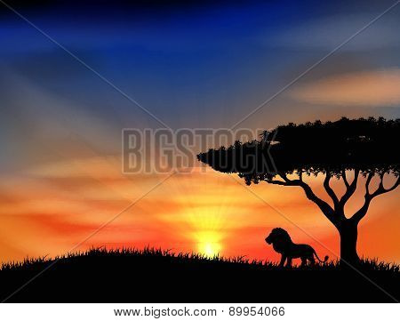 Sunset with old lion