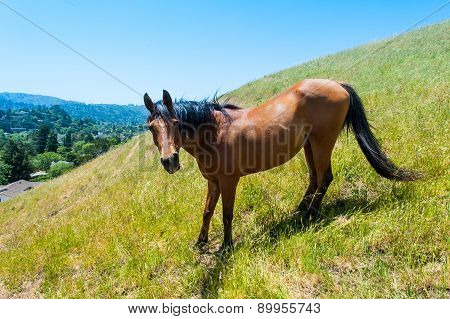 Brown Horse On Hillside Field Eating Grass