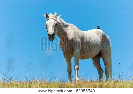 White Horse On Hillside Field Bird On Back