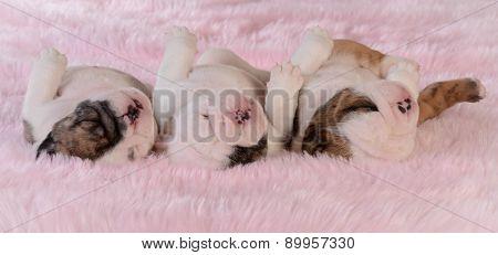 sleeping puppies - three bulldog puppies in a row on pink background - three weeks old