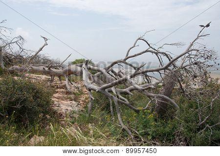 Fallen Trees After Fire