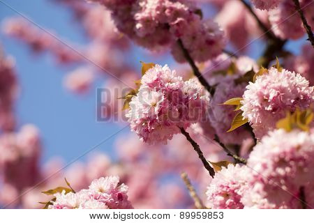 Spring Cherry Blooming