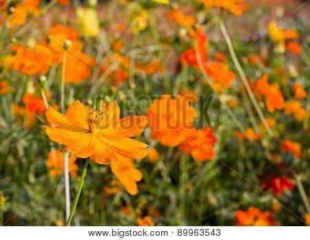 Close Up Orange Cosmos Flower