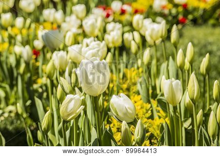 flowerbed with white tulips
