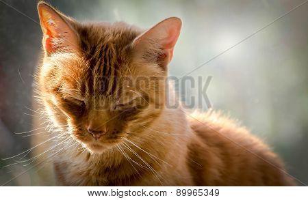 Ginger Tom Cat Sleeping