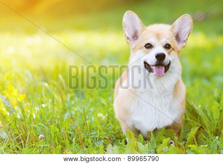 Happy Dog Welsh Corgi Pembroke On The Grass In Summer Sunny Day