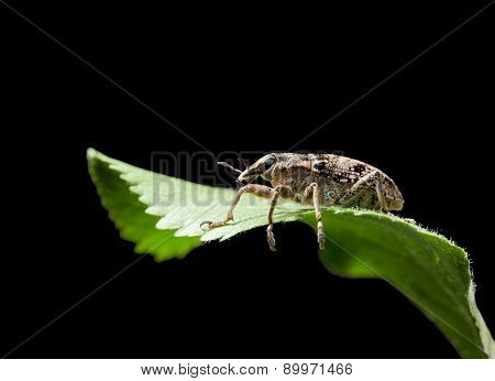 Beetle On Leaf Isolated On Black