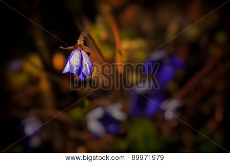 Hepatica flower in spring