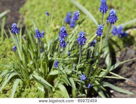 Blue Flowers In A Rustic Garden