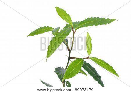Laurel Plant
