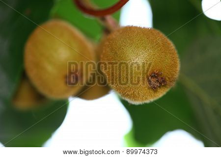 kiwi plant with green leaves, close up