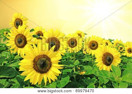 Sunflowers Full Bloom, Golden Sun Scenery