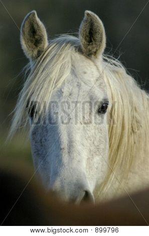 Arabian Head Close Up