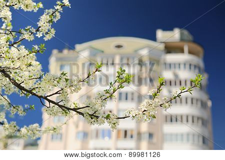 White Pear Blossoms On Branch With Apartment House And  Blue Sky Background