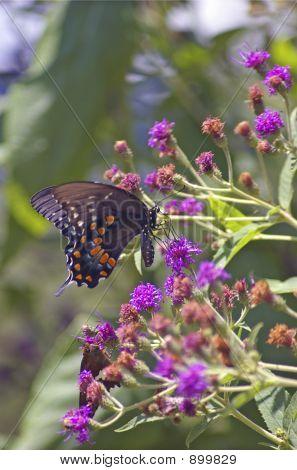 Mountain Butterfly 1