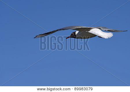 Seagull Bird Sky