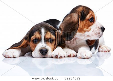 Beagle Puppies On White Background