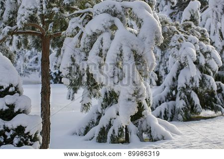 Branches of conifer under fresh snow