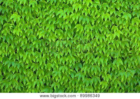 Green Parthenocissus Tricuspidata