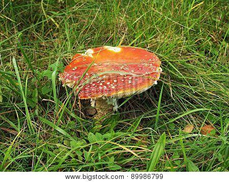 Poisonous Mushroom