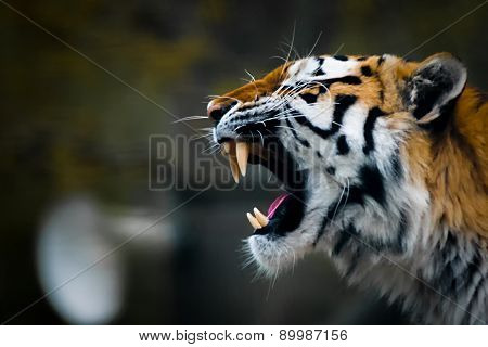 The Tiger's Roar