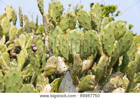 Closeup Of Opuntia