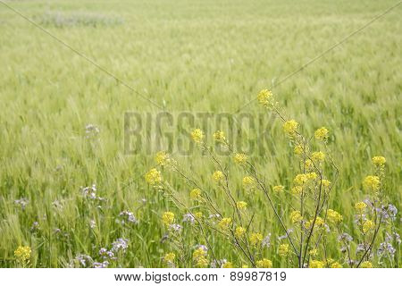 Yellow Canola Flowers