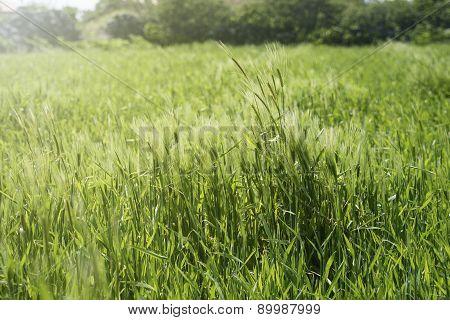 Close-up Of Green Barley