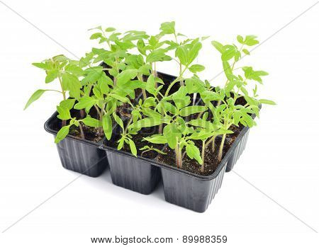Tomato Seedlings Isolated