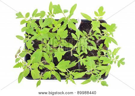 Tomato Seedlings Isolated. Top View.