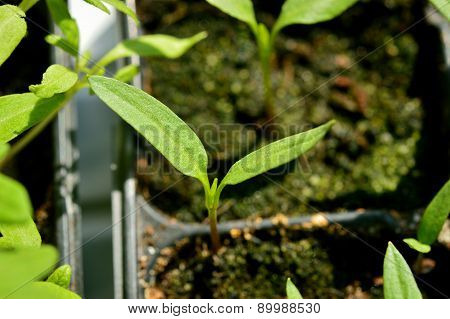 Paprika Seedling, Young Plant In Plastic Pot.