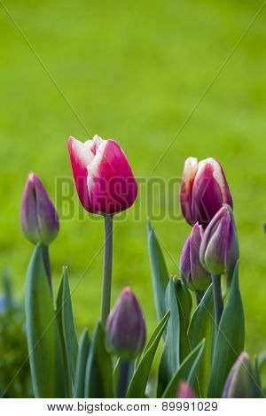 Beautiful Red  Tulips In The Spring Time.