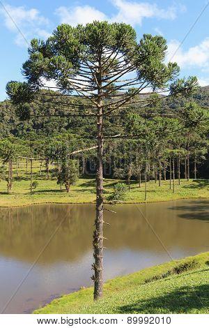 Araucaria Angustifolia ( Brazilian Pine), Brazil