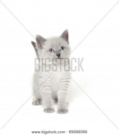 Cute Kitten Playing