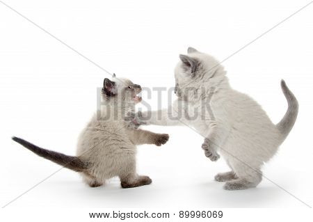 Two Cute Kittens Fighting