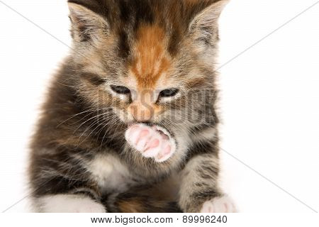 Cute Kitten Cleaning Its Paw