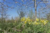 stock photo of cowslip  - A low angled shot using shallow depth of field - JPG