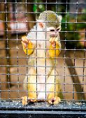 stock photo of caged  - Squirrel Monkey in a cage - JPG