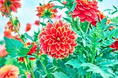 picture of orange blossom  - Dahlias, orange colored flowers in the garden on floral background. Flower meadow in blossom, wallpaper. Close up
