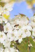 picture of pollen  - Honeybee harvesting pollen from blooming flowers - JPG