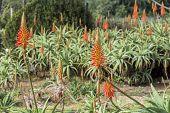 foto of plant species  - Aloe arborescens a species of flowering succulent perennial plant that belongs to the Aloe genus - JPG