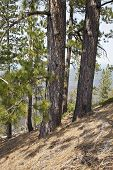 picture of butts  - Lava Butte forest trees and hillside near Bend Oregon - JPG