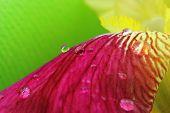 stock photo of raindrops  - Vibrant yellow magenta iris flower petals closeup with raindrops - JPG